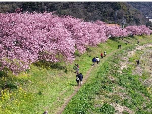 早咲きで有名な河津桜。南伊豆のみなみの桜と菜の花祭と共に毎年2/10から一ヶ月間開催されます