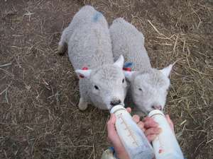 子羊の授乳