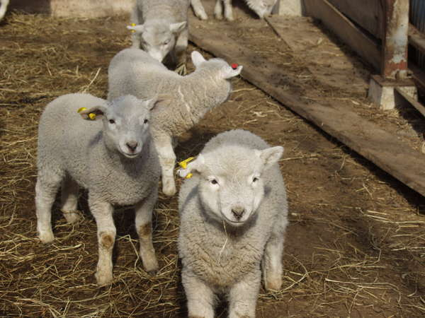 毎冬恒例の子羊誕生ラッシュ 子羊の見学もできます