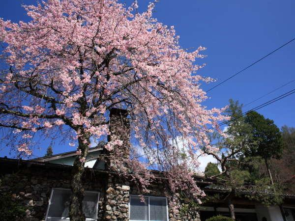 【春】駒の湯の桜は木曽の人にも人気の春満喫スポット!