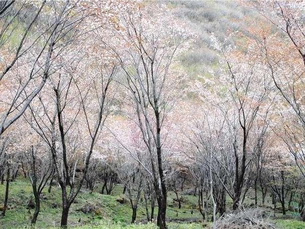約3000本の山桜見頃は4月中旬~下旬