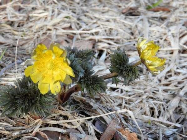 春の訪れを感じさせる「福寿草」