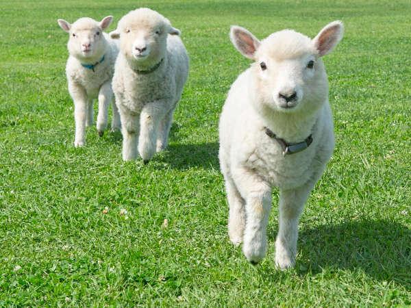 *マザー牧場/ひつじ 150頭の大行進はひつじの牧場。エサやり体験はマザーファームツアーがおすすめです。