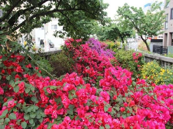 6月から7月にかけてホテルからすぐの糸川沿いにブーゲンビリアが咲きほこります