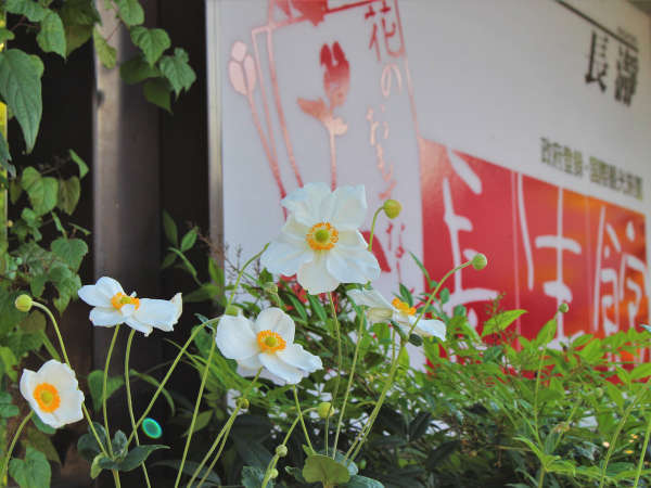 【秋】「シュウメイギク」テーマフラワーとして、当館ロゴマークにも秋明菊を用いています。
