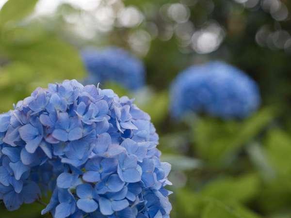 一服の清涼ー夏の風物詩・紫陽花