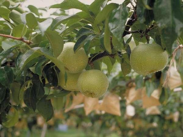 鳥取と言えば二十世紀梨。甘酸っぱくジューシーな梨をお腹一杯どうぞ♪