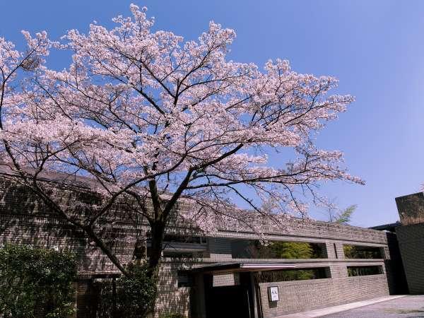 エントランスに見事に咲く桜。