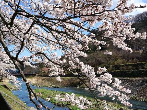 【桜】仙石原の周辺には、桜の名所がたくさんあります。(宮城野の桜)