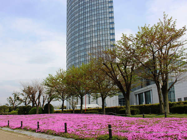 例年4月中旬が見ごろの芝桜です♪
