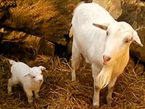 年末年始、出産ラッシュを迎えた、いこいの村のヤギさんたち… ほのぼの親子に会いに来て♪