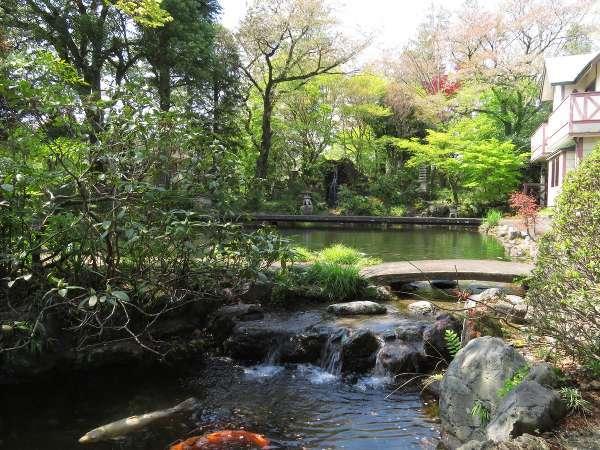 4月中旬の館内(3千坪の日本庭園)にて。新緑が美しい時期の池では、鯉が優雅に泳いでいます。