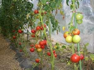 お日様たっぷりの真っ赤なトマトは濃厚な味です