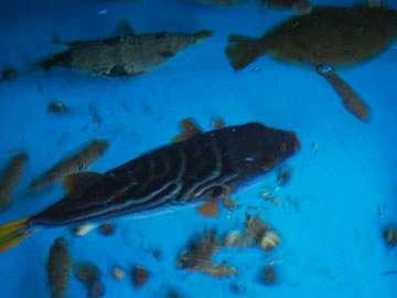 館内の生簀には新鮮な魚が泳いでいます♪