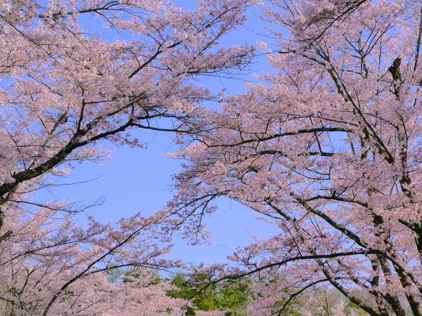 <蓼科山聖光寺の桜>4月下旬から5月上旬に約300本のソメイヨシノが満開を迎えます