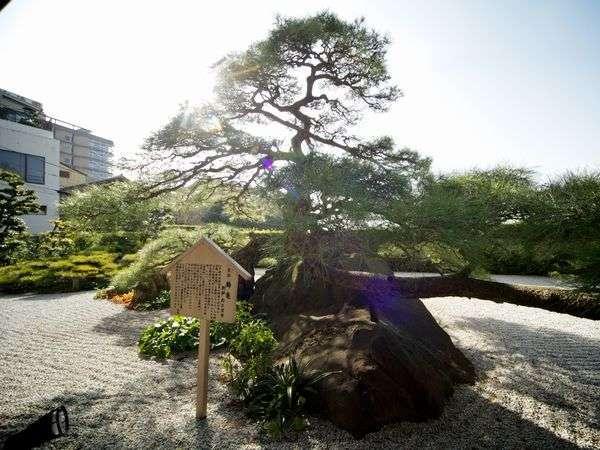樹齢300年、鶴亀の松は堂々と佇む。