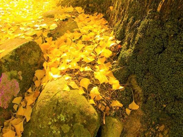 【紅葉おすすめ】ホテル最寄りの岩部八幡神社の大イチョウはまさに圧巻!