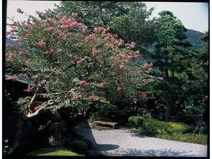 前庭の百日紅