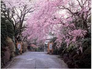 当庭正面の枝垂れ桜