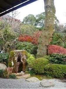 玄関前の樹齢100年の櫻の木