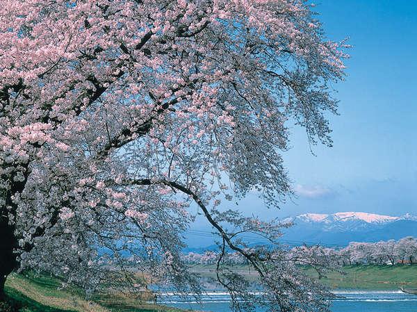 県内でも有名な桜の名所「白石川堤一目千本桜」全長約8km、約1200本の桜並木は圧巻の一言。車で約40分。