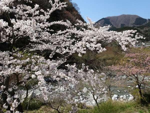 大浴場露天風呂からの桜