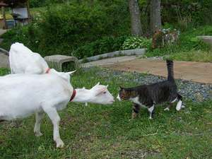 猫とヤギのツーショット、結構仲がいいんです。