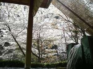 桜の季節は湯船に浸かりながら間近に望む花見露天風呂が注目度◎(例年見頃:4月中旬)