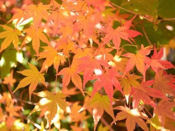 敷地内では、例年10月下旬~11月上旬が紅葉の見頃。