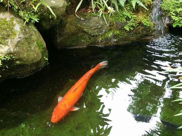 小さなお庭の池にお住いの『鯉さん。。。〇』
