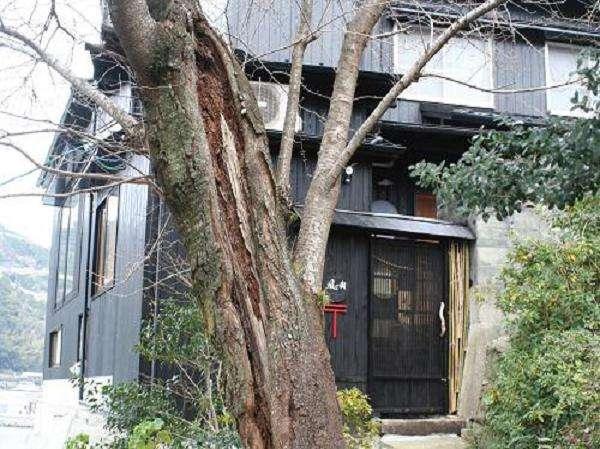 桜の古木と宿入口