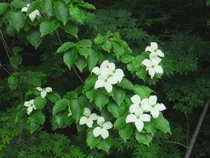 駐車場前には大きく自生するヤマボウシの花。6月下旬頃見頃で、秋には猿が実を取りに来ますよ。