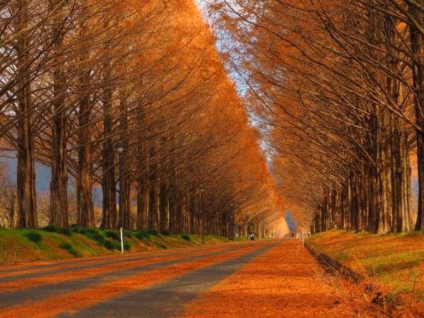 メタセコイヤ並木の紅葉
