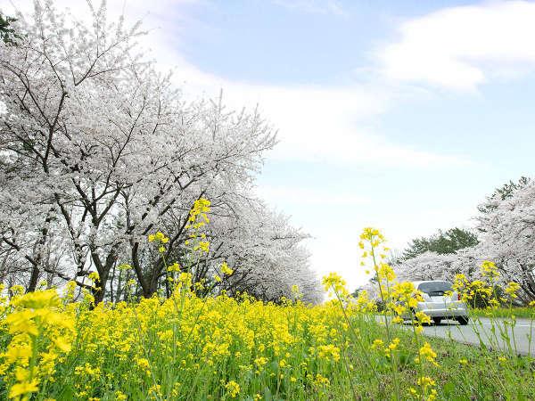 *【菜の花ロード】ピンクと黄色の美しい共演が見られるのはこの時期だけ!