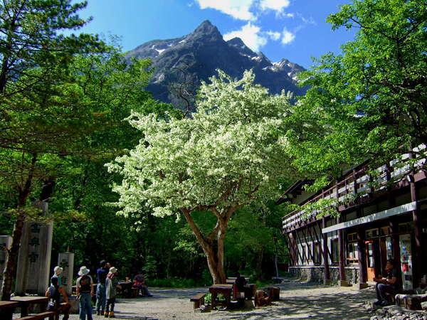 小梨の木の花咲く、明神広場、頭上の穂高岳(明神岳は、その尊称)と、明神館