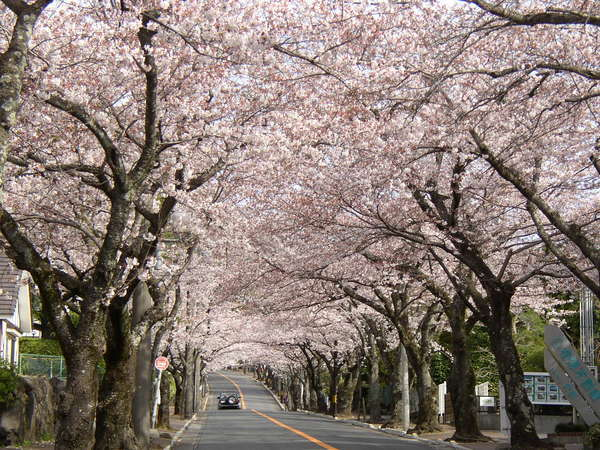 駅より約3km続く満開の伊豆高原桜並木