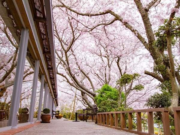 シエスタのすぐ脇には満開の桜♪
