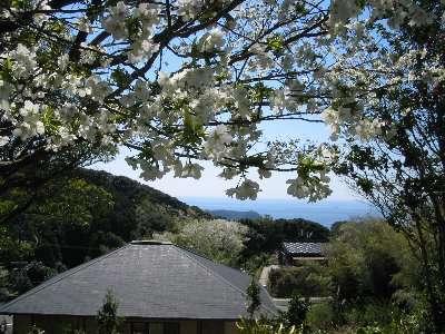 旅館建物裏崖上展望休憩所から眺める大島桜と太平洋の遠望です。