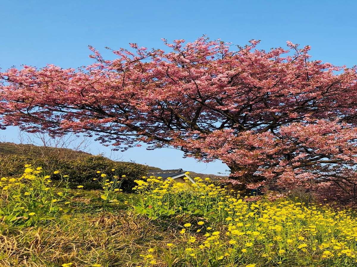 【みなみ桜と菜の花まつり】2月10日~3月10日・青野川沿いに咲くみなみの桜
