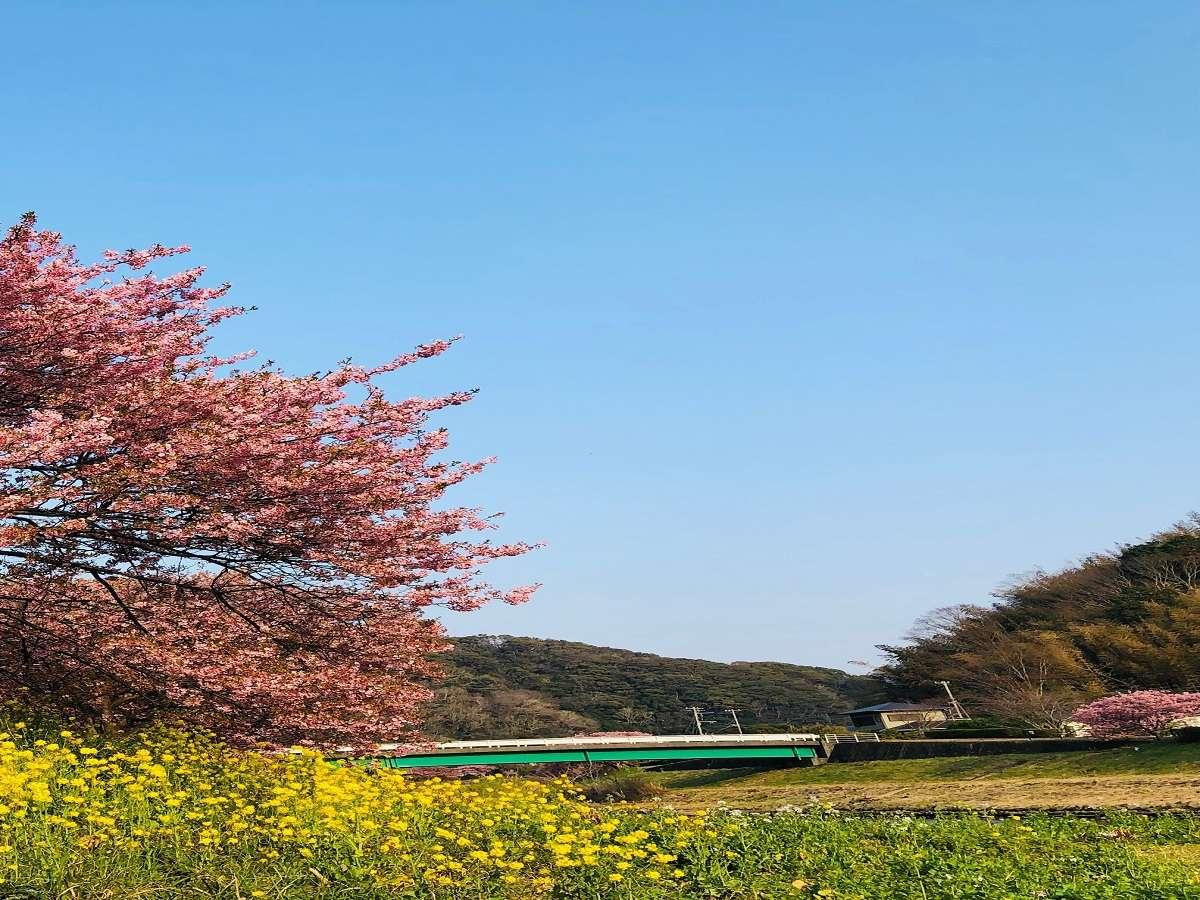 【みなみ桜と菜の花まつり】2月10日~3月10日・青野川沿いに咲くみなみの桜と菜の花の共演