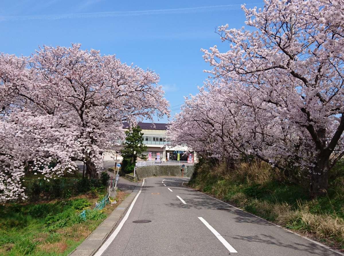 鷹巣荘へ続く桜並木