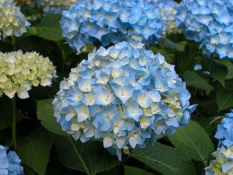 【花暦】色とりどりの紫陽花。見頃は6月