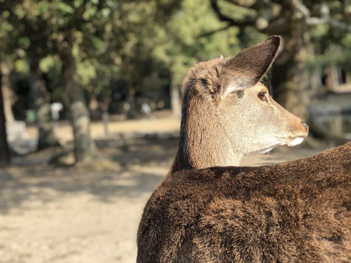 【鹿と遊べる奈良公園】奈良といえば鹿!!徒歩5分圏内です♪