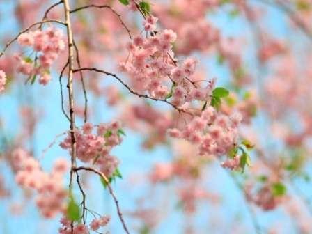 玄関前のしだれ桜
