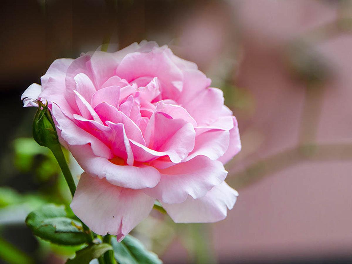 【バラ摘み・バラ風呂体験】期間限定★当館の庭に咲いているバラを摘みバラ風呂をお楽しみいただけます!