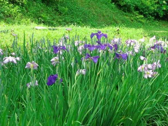 花しょうぶ園:徒歩10分。およそ5,000㎡の花しょうぶ園には約10,000株の花しょうぶが咲き誇ります。