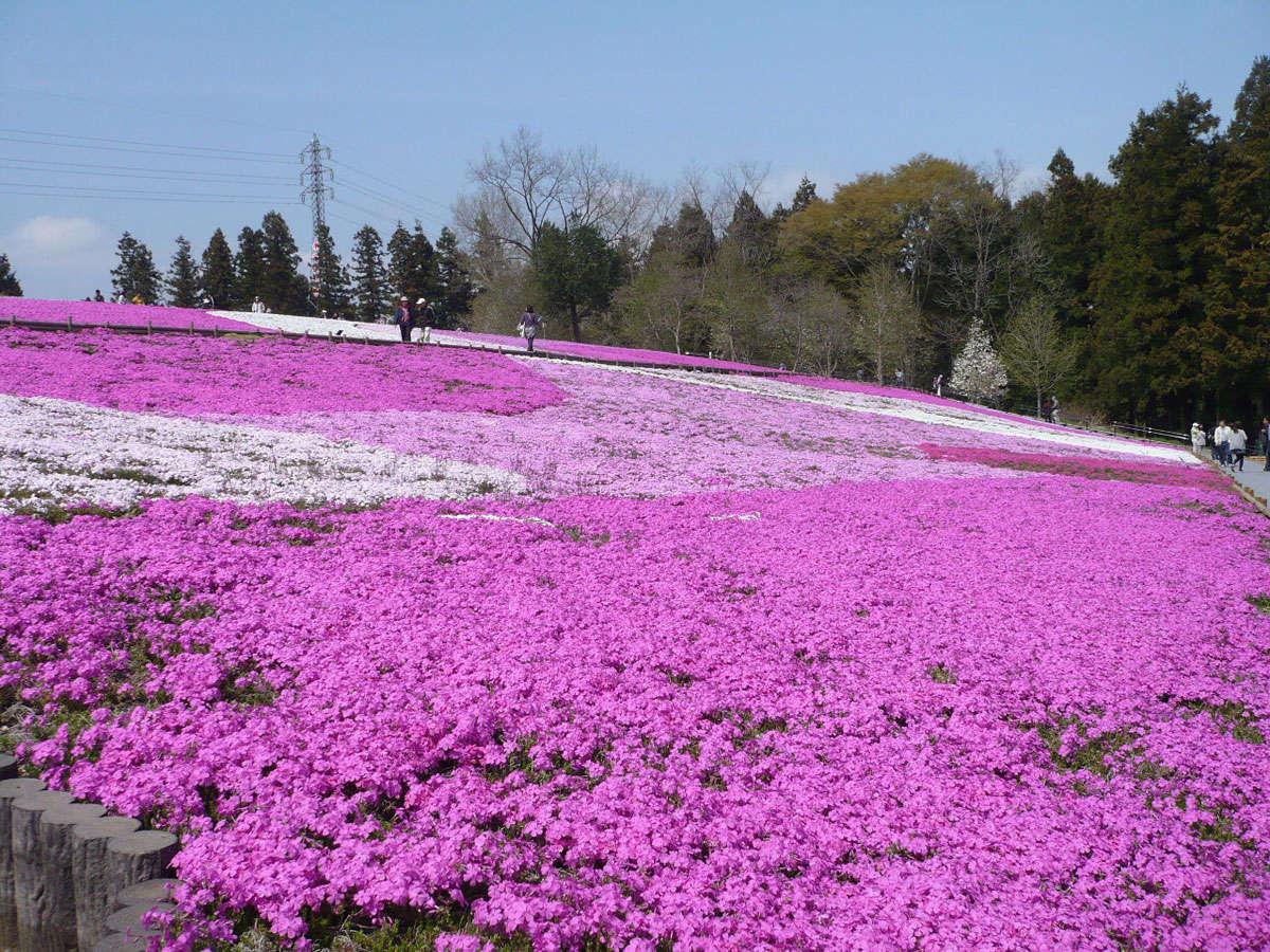 【4月下旬~5月上旬】羊山公園の芝桜