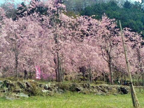 【4月中旬~下旬】近隣のしだれ桜園