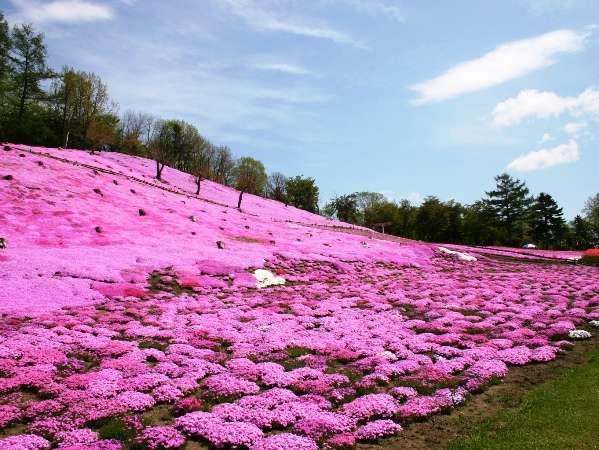 太陽の丘に咲き誇る「芝桜」