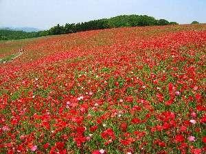 【秩父高原牧場・天空のポピー】一面のポピー畑♪見頃は5月中旬~6月上旬